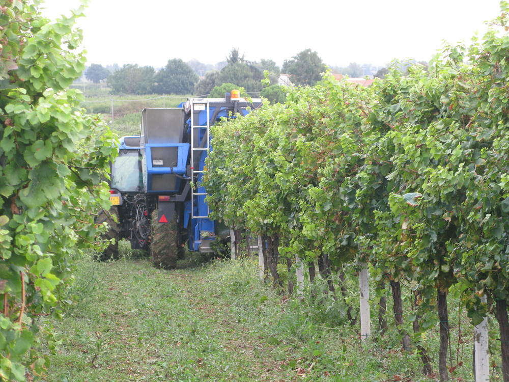 Machine-harvesting Sangiovese at Spinetta