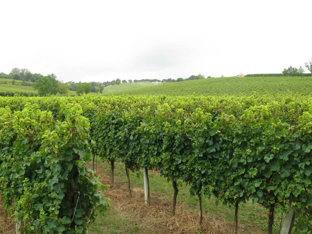 Vines at the Spinetta farm