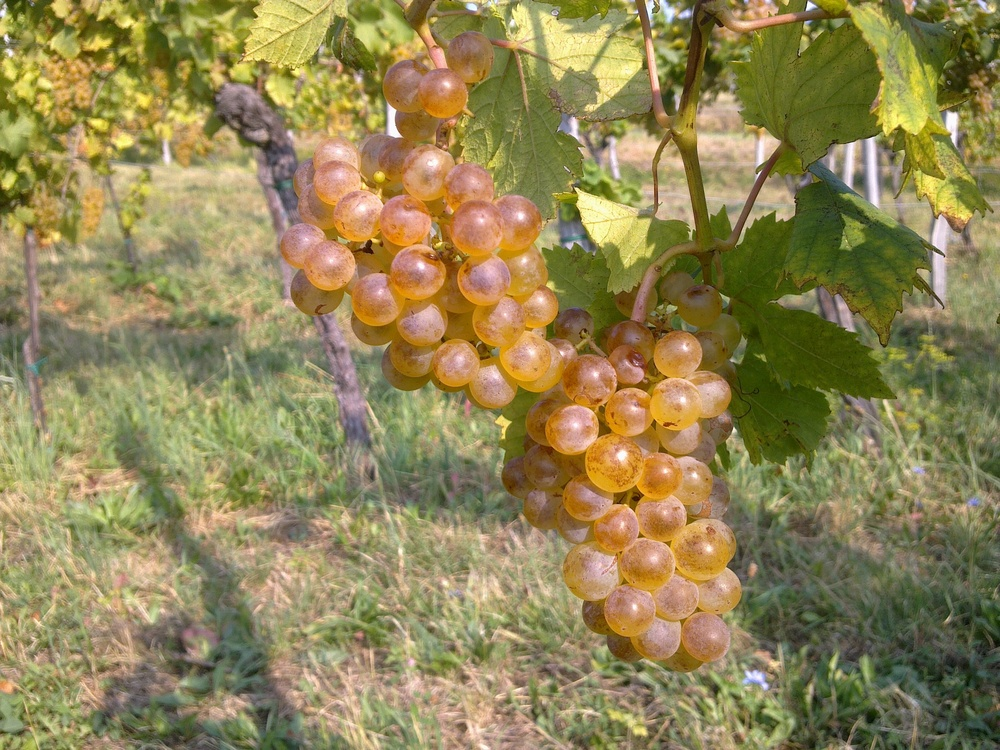 Rebula grapes basking in the sun of Goriška Brda