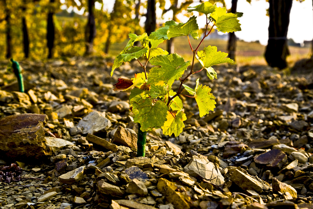 The opoka soil at Marjan Simčič's vineyard