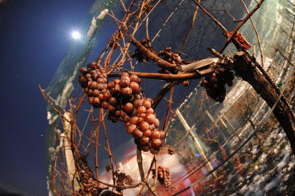 Left hanging long after other winemakers in the region have harvested their grapes