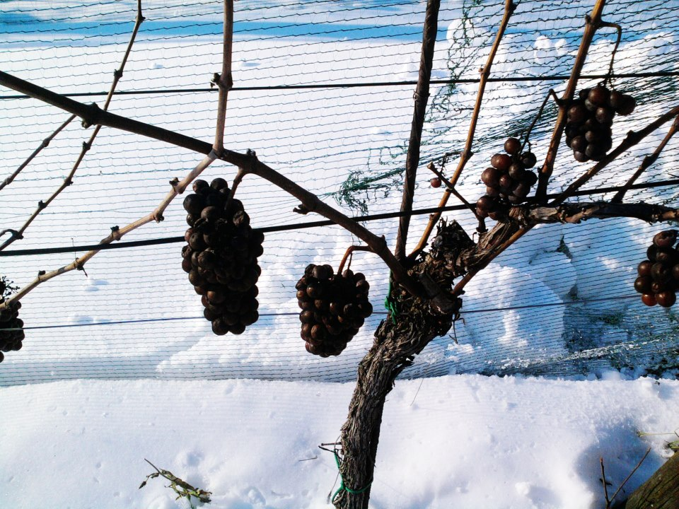 Grapes on the vine 2.jpg