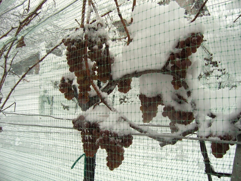 The netting protects the grapes from hungry birds