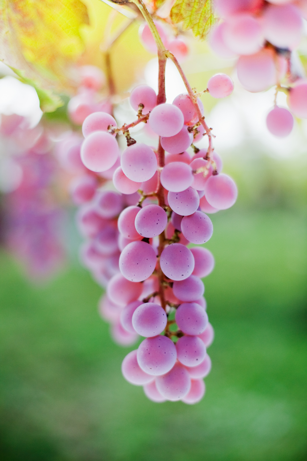 Koshu is a pink-skinned grape