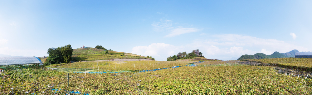 Now that Koshu vines are being planted in higher, cooler vineyards, their quality has been elevated too