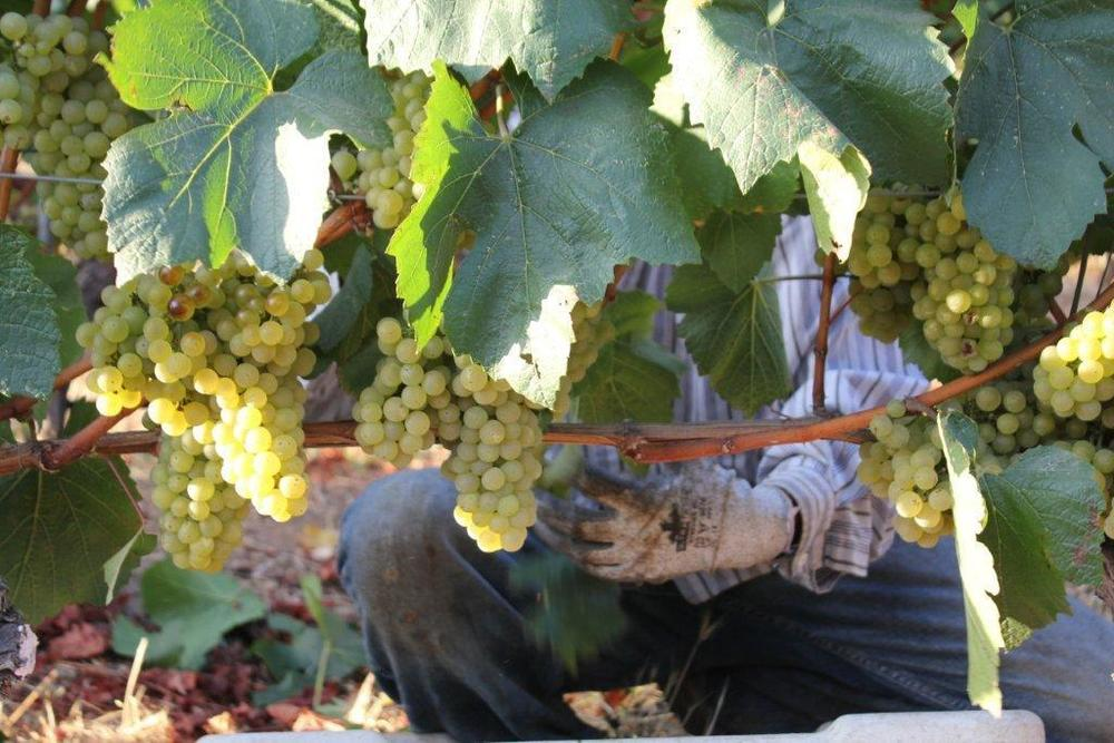 The harvest begins at Pine Ridge Vineyard, California (Photo: Business Wire)