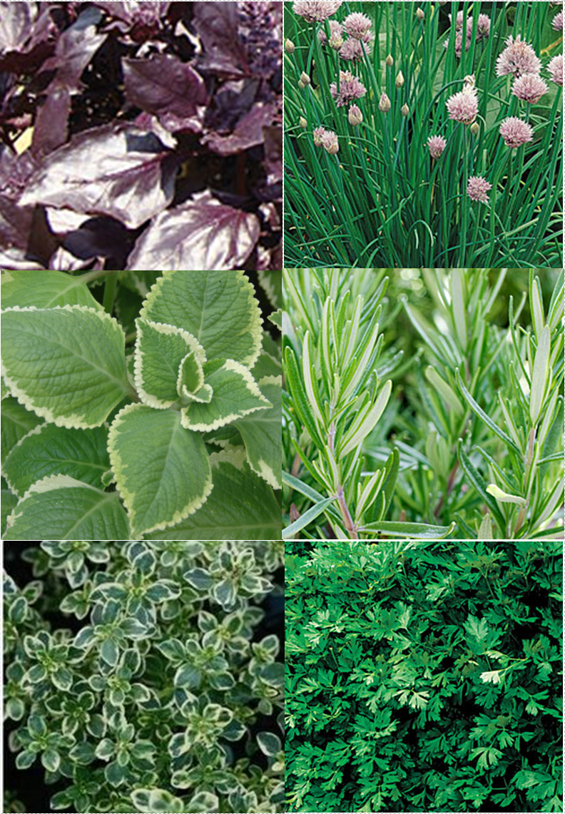 Midnight Basil, Chives, Oregano, Rosemary, Lemon Variagated Thyme, Flat-leaf Parsley