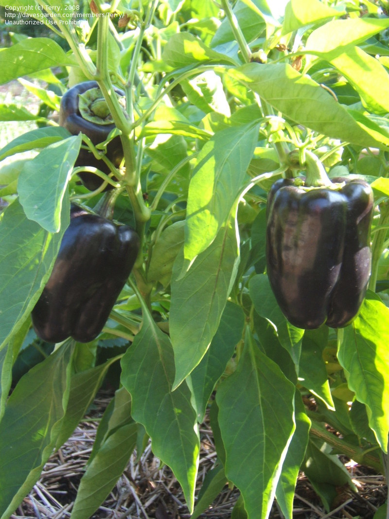Purple Beauty Bell Pepper Plant