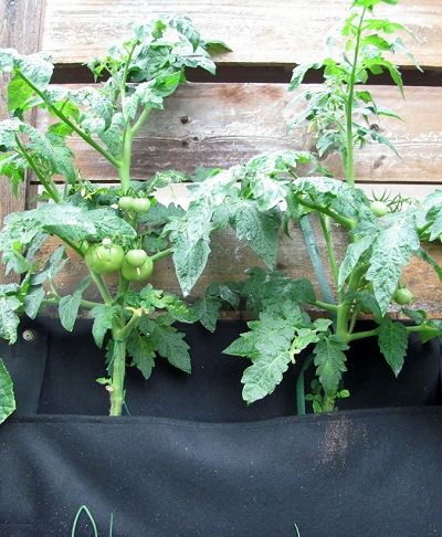 Two Patio Tomato plants in a black Wally One pocket