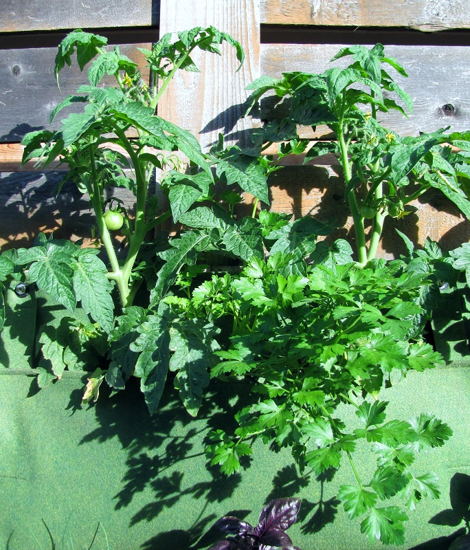 Two Patio Tomato plants and one Flat-leaf Parsley plant