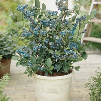Dwarf Blueberry Bush in a standard planter