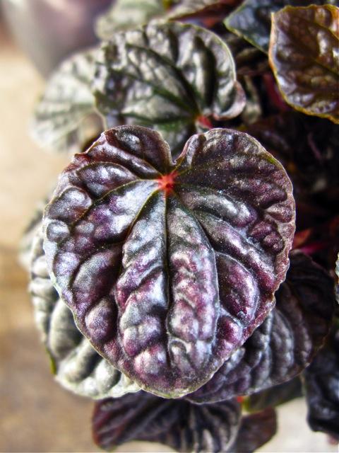 Peperomia Caperata - Rasberry Ripple