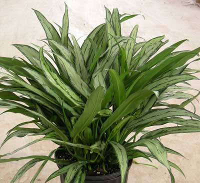Cutlass Aglaonema