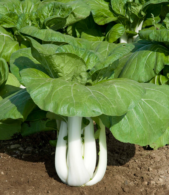 Joi Choi, also known as Bok Choy and Chinese White Cabbage