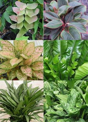 Maidenhair - Silver Dollar Fern, Sapphire Suzzane Aglaonema, Etta Rose Aglaonema, Bird's Nest Fern, Cutlass Aglaonema, Chinese Evergreen