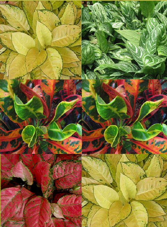 Aglaonema Cochin Yellow, Chinese Evergreen, Croton Mammy, and Christmas Evergreen