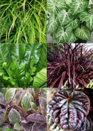 Spider Plant, Nepthytis Allusion, Bird's Nest Fern, Cordyline Red Star, Rubber Plant, and Peperomia Rasberry Ripple