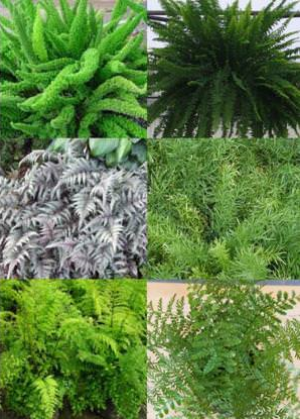 Foxtail Ferns, Boston Ferns, Burgundy Lace Painted Ferns, Dwarf Asparagus Fern, Mother Fern, and Austral Gem Fern