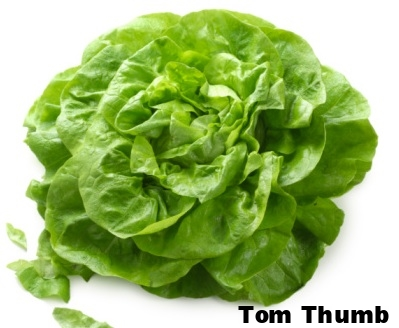Tom+Thumb+Lettuce.jpg