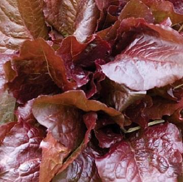 Lettuce Living Walls