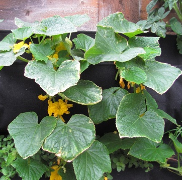 Cucumbers Perfect Small.jpg
