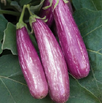 Bush Pickle Cucumbers 1.jpg