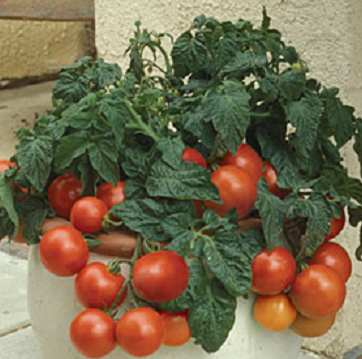 Cherry Red Tomatoes.jpg