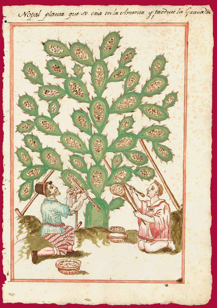 """The nopal plant that is grown in America and produces grana [insect dye].""  Reports on the History, Organization, and Status of Various Catholic Dioceses of New Spain and Peru (1620-49) fol. 85."