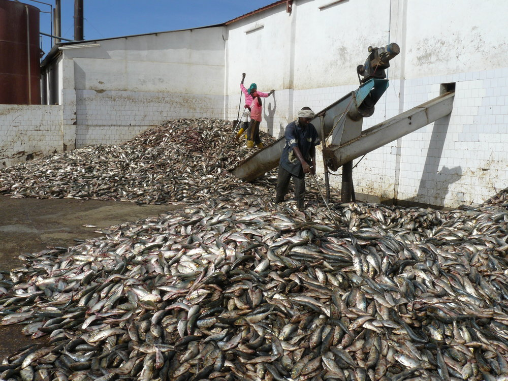 Workers sorting small-pelagic fish for processing into fishmeal, Nouadhibou. Photo by Francisco Mari.
