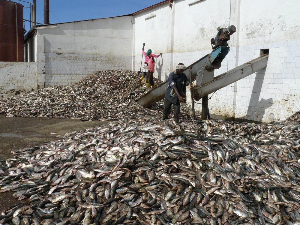 Travailleurs triant les petits pélagiques pour la transformation en farine de poisson, Nouadhibou. Photo par Francisco Mari.