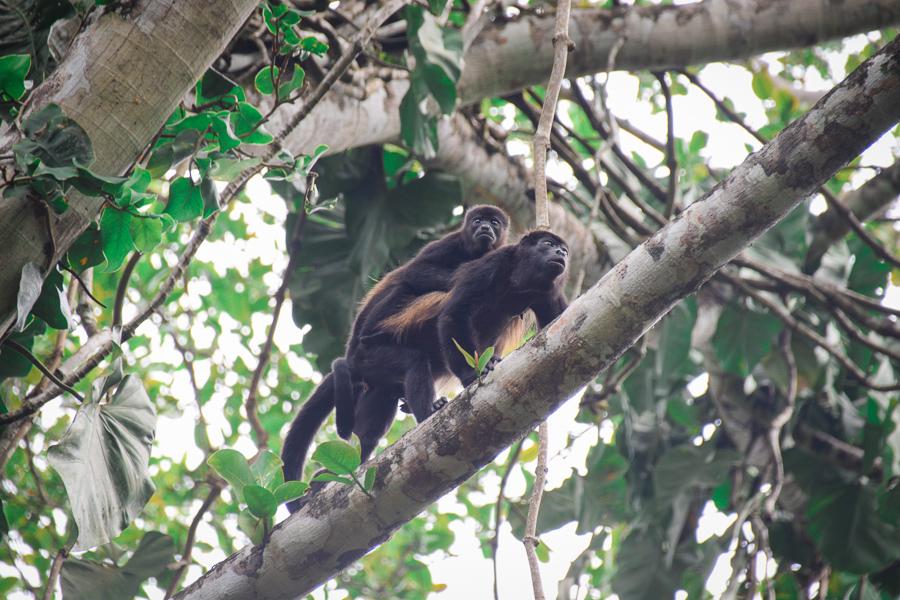 Howler monkeys on site