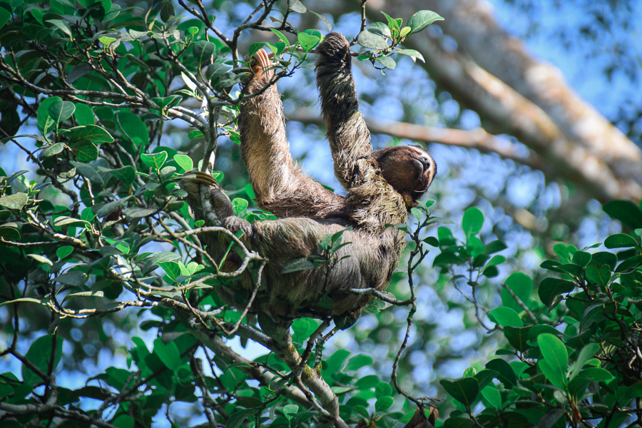 Simone the Sloth