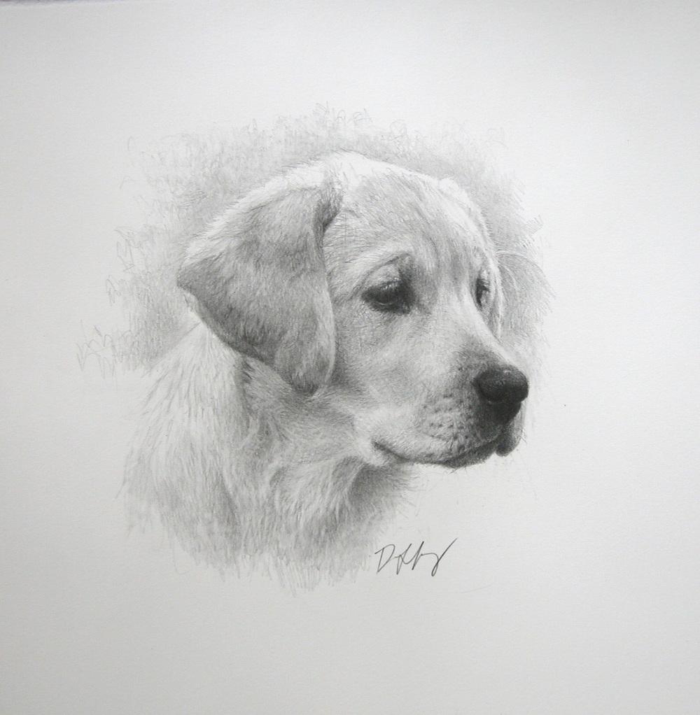 Head study, Labrador
