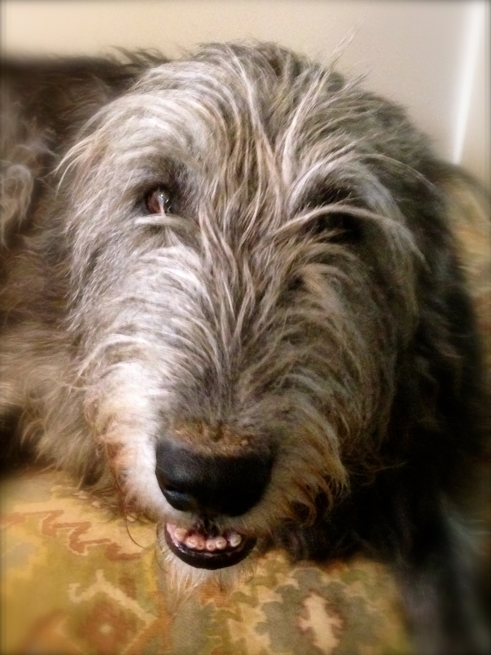 Irish wolfhound diet nutrition ballyhara irish wolfhounds time to say goodbye ballyhara darley the strongest willed most stoic geenschuldenfo Image collections