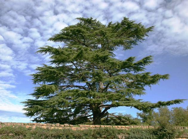 Cedar tree in front of the blue sky