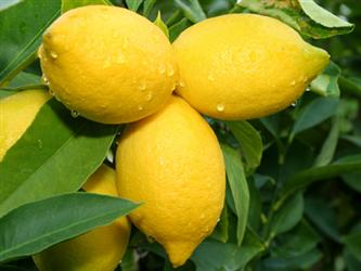 Fresh lemons on the vine. Save the rind when you're done making lemonade...for some incense!