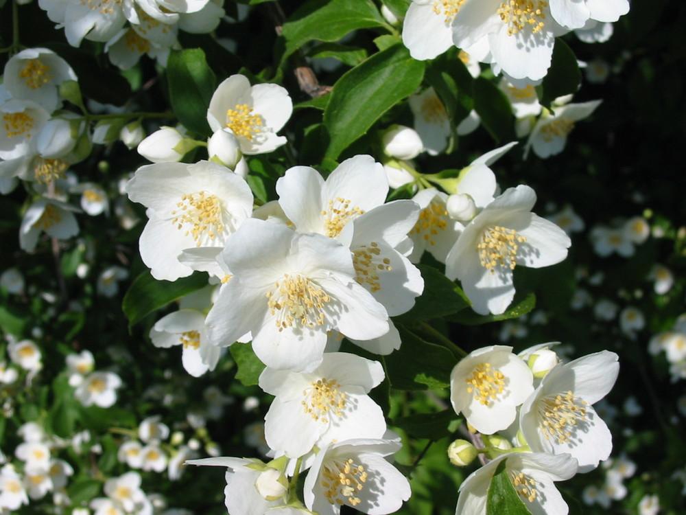 Beautiful jasmine flower grove!