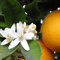 Fragrant oil blossoms.  And oranges!