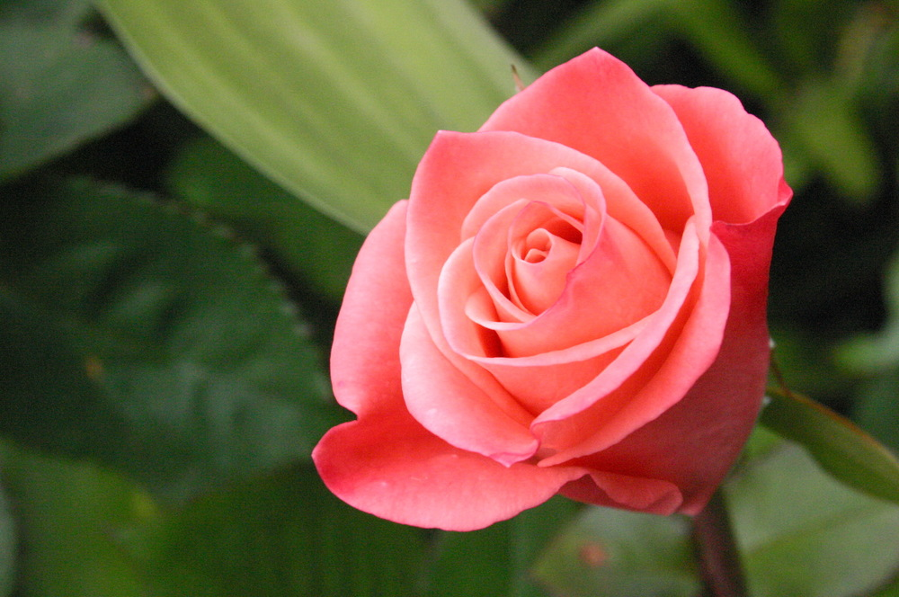 Beautiful single pink rose in the sunshine