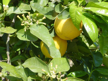 Bergamot fruit: main flavor in Earl Grey but also a popular essential oil