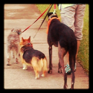 Schatzie with Victoria's dogs on a pack walk!