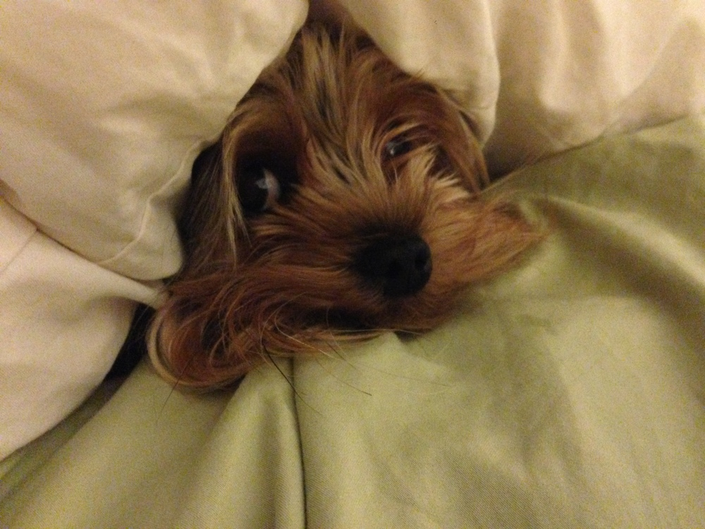 Roxy loves to dig under the covers.