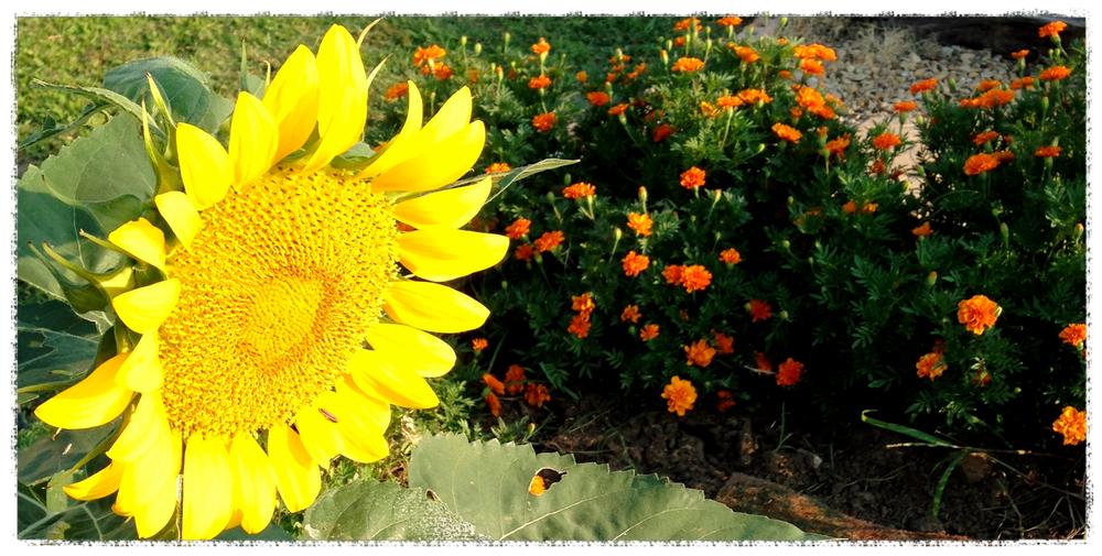 IMG_0470_Fotorsunflower.jpg