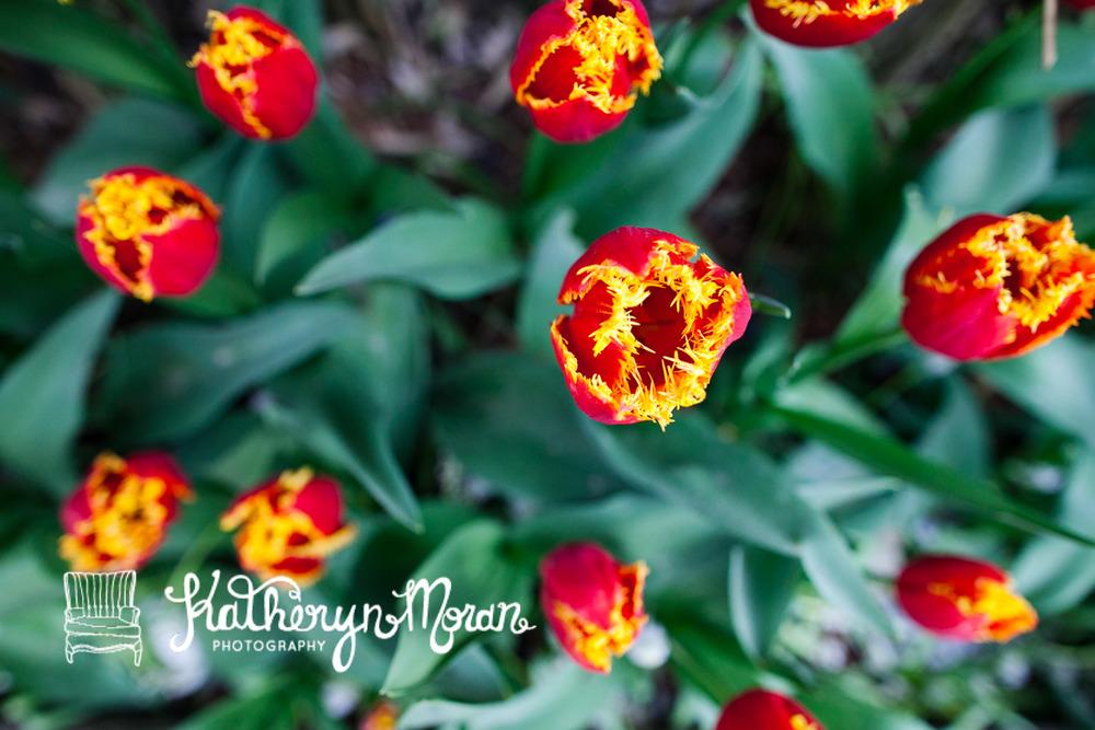 Tulips--7.jpg