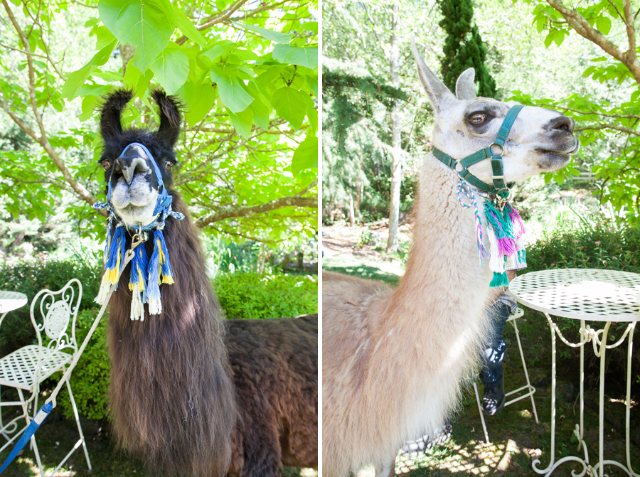 057-llama-rose-farm-wedding.jpg