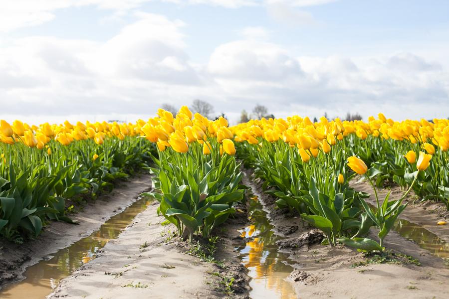 001-mount-vernon-washington-tulip-festival-2015.jpg