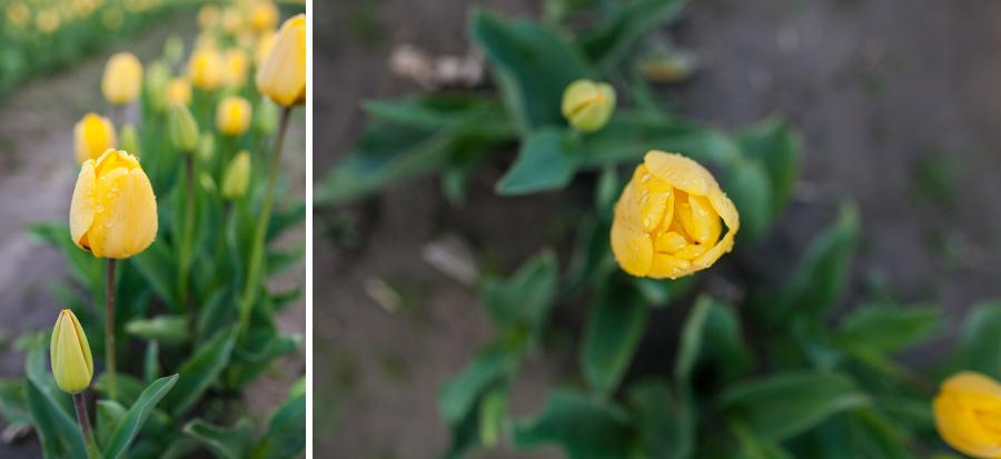 003-mount-vernon-washington-tulip-festival-2015.jpg
