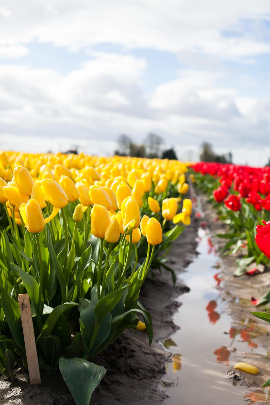 005-mount-vernon-washington-tulip-festival-2015.jpg