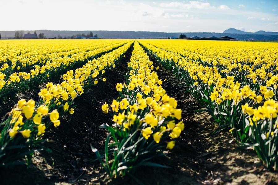 002-skagit-vallery-mount-vernon-washington-daffodils-tulip-festival-katheryn-moran-photography.jpg