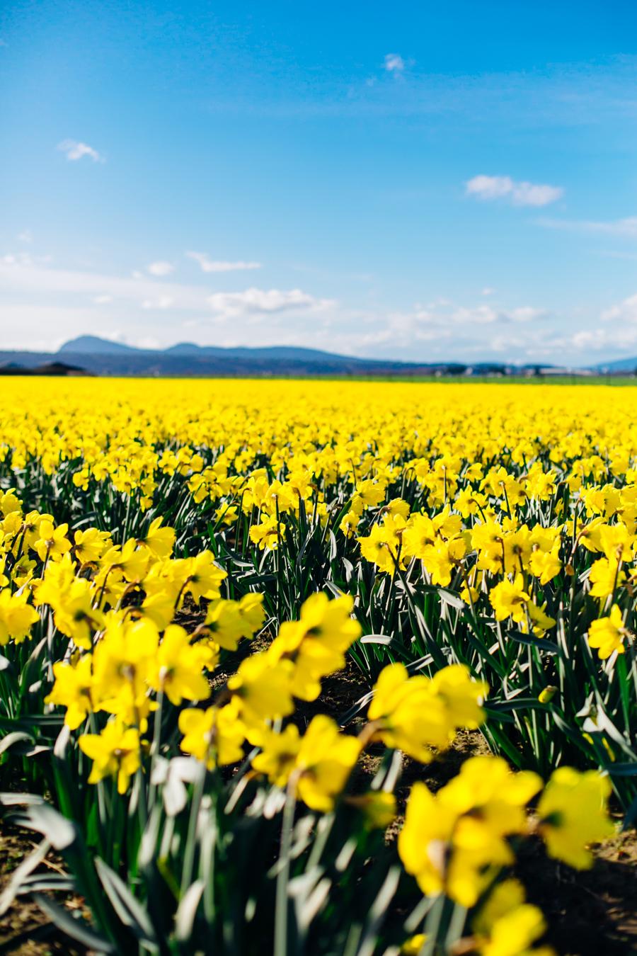 001-skagit-vallery-mount-vernon-washington-daffodils-tulip-festival-katheryn-moran-photography.jpg